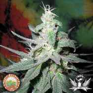 British Columbia Seeds Blaze