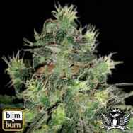 BlimBurn Seeds AK Automatic