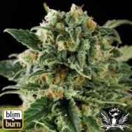 BlimBurn Seeds Critical Automatic