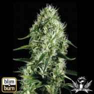 BlimBurn Seeds Silver Surfer Haze