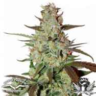 Dutch Passion Seeds Blue AutoMazar