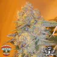 Hazeman Seeds Blue Band