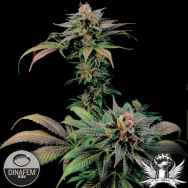 Dinafem Seeds Blue Widow