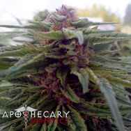 Apothecary Genetics Seeds Blue Afi