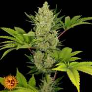 Barneys Farm Seeds Auto Blue Cheese