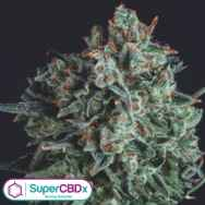 SuperCBDx Seeds Blue Cheese x SCBDX
