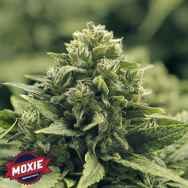 Moxie Seeds Blue Coral