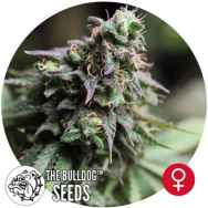 The Bulldog Seeds Blue Dream