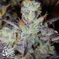 Short Stuff Seeds Blue Himalaya