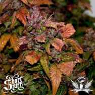 Short Stuff Seeds Blue Himalaya Diesel