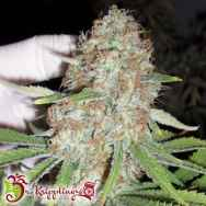 Dr. Krippling Seeds Blue Kripple