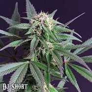 DJ Short Seeds Blue Moonshine