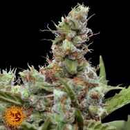 Barneys Farm Seeds CBD Blue Shark