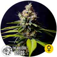 The Bulldog Seeds Blueberry 420 AUTO