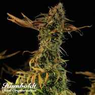 Humboldt Seed Organization Blueberry Headband