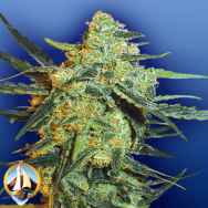 Flying Dutchmen Seeds Blueberry Skunk