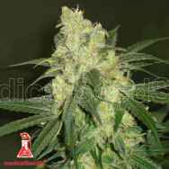 Medical Seeds Bluehell