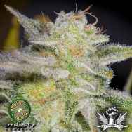Dynasty Genetics Seeds Bluniverse