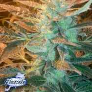 Flash Autoflowering Seeds Boss Marley Satellite SuperAuto