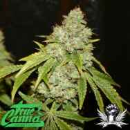 True Canna Genetics Board Leaf Black