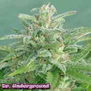 Dr. Underground Seeds Brooklyn Mango