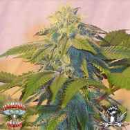 Hazeman Seeds Bubba's Widow