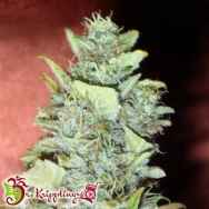 Dr. Krippling Seeds Bubba Gum AUTO