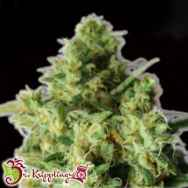 Dr. Krippling Seeds Bulk Smash AUTO