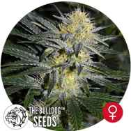 The Bulldog Seeds Bullshark