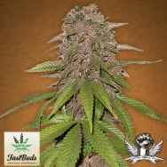 FastBuds Seeds C4-matic AUTO