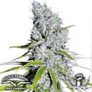 Dutch Passion Seeds CBD SkunkHaze