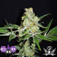 CBD Crew Seeds CBD Indica Mix