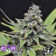 CBD Crew Seeds Shark