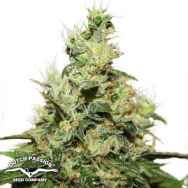 Dutch Passion Seeds CBD Kush