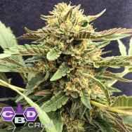 CBD Crew Seeds CBD Therapy