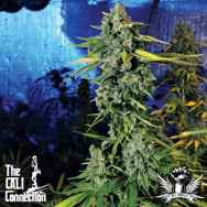 Cali Connection Seeds Blue Dream Haze
