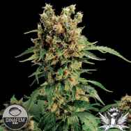 Dinafem Seeds California Hash Plant