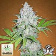 FastBuds Seeds California Snow AUTO