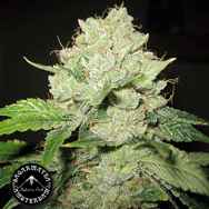 Sagarmatha Seeds California Train Wreck