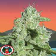Big Buddha Seeds California Orange Cheese