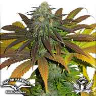 Dutch Passion Seeds Californian Orange