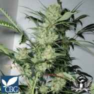 Cannabiogen Seeds Leshaze