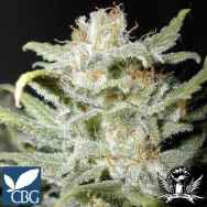 Cannabiogen Seeds Bangi Haze