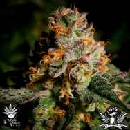 CannaVenture Seeds Tennessee Purple Kush