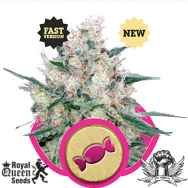 Royal Queen Seeds Cream Honey Fast