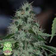 Trichome Jungle Seeds Caribbean Crush
