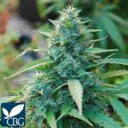 Cannabiogen Seeds Caribe