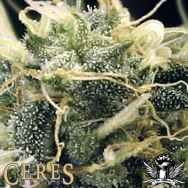 Ceres Seeds Fruity Thai
