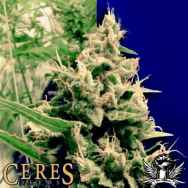 Ceres Seeds Hollands Hope