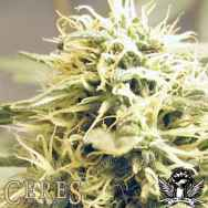 Ceres Seeds Kush